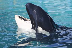 A Journey of Love, Justice and the Fulfillmentof a SacredObligation to One Orca