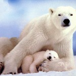 POLAR-BEARS