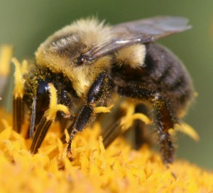 Plight of the Bumble Bee, &amp; How To Eat Veg at Omni Restaurants