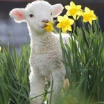 lamb daffodils 2